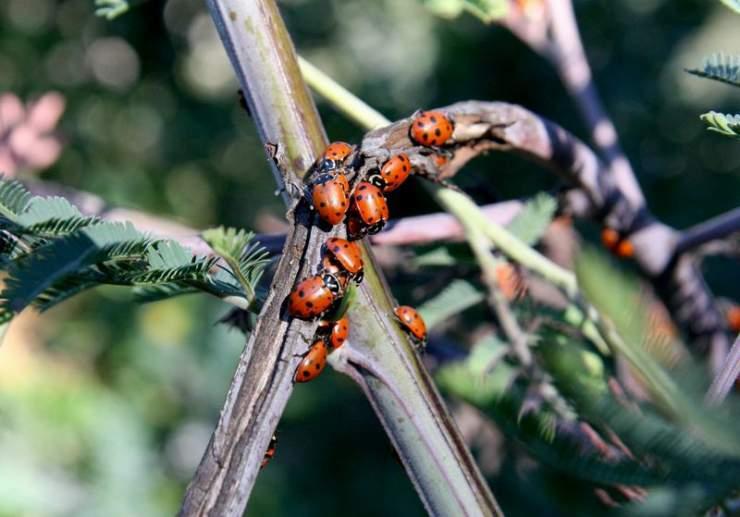 Ladybugs_1