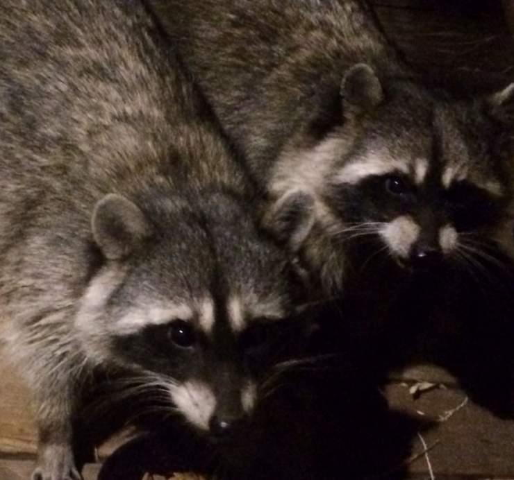 Raccoons_1