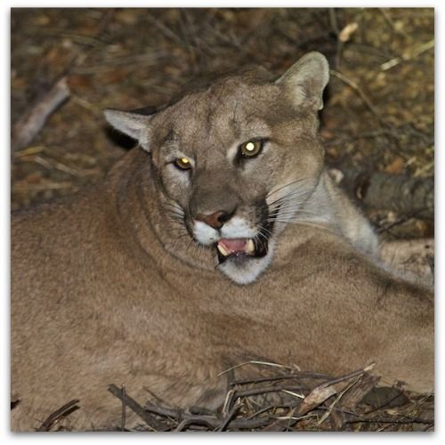 P45 Mountain Lion